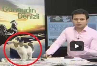 gray and white kitten walks onto TV set