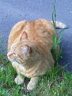 orange tabby in grass