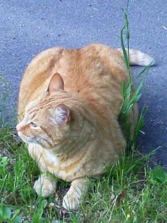 orange tabby in grass