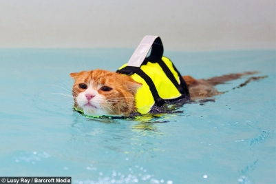 orange tabby in pet life jacket swimming in pool