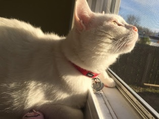 white cat gazing out a window