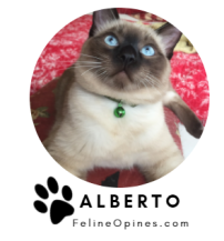 Siamese cat with blue eyes