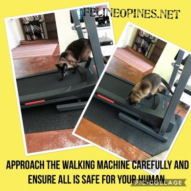 Siamese inspects treadmill