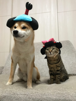 shibu ina dog and tabby cat in Japanese hats