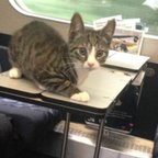 Danish tabby takes a train ride