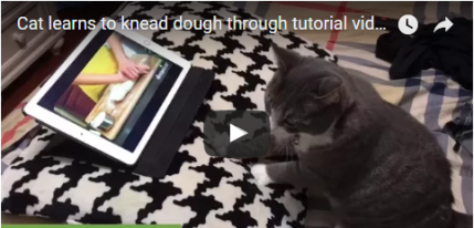 black and white cat learns how to knead dough on youtube
