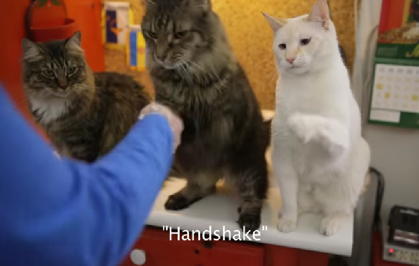 two long haired tabbys and a white cat learn sign language