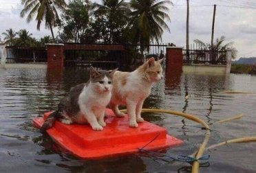 cats caught in a flood