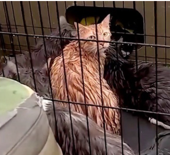 wet orange tabby cat saved during Hurricane Harbey