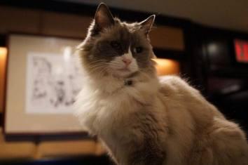 Matilda the retired Algonquin Cat