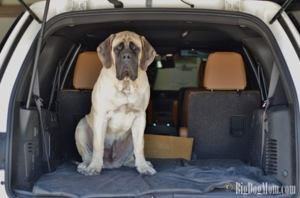 big dad dog in the back of an SUV