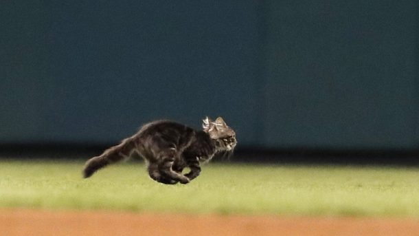 gray tabby racing across the Cardinals baseball field