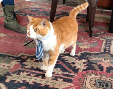 Orange and white tabby in blue striped tie
