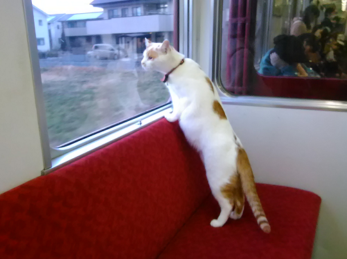 yellow and white cat looking out of window of cat cafe train car