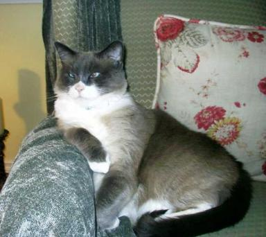 Siamese cat with cross eyes on chair