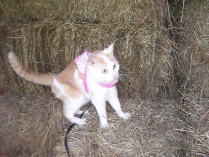 orange and yellow cat on leash walking on a bale of hay
