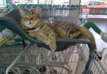 Brutus the tabby lounges in a shopping cart
