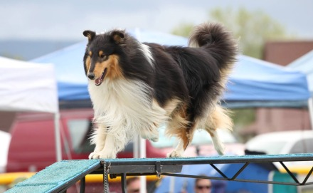 black and white collie on agility course