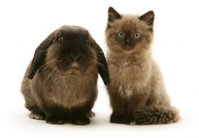 siamese kitten and look alike bunny