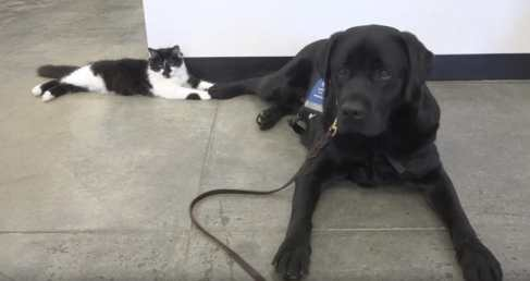 Black and white kitten trains therapy dogs