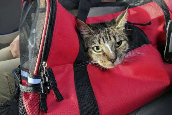 gray tabby in cat carrier on plane