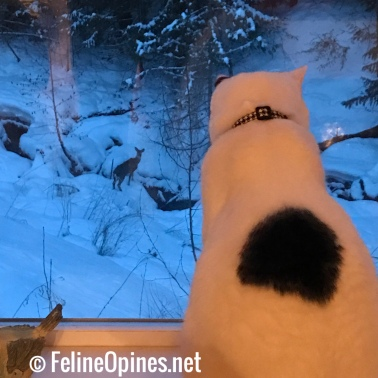 black and white cat watching deer