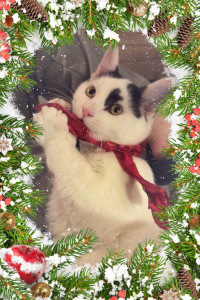 black and white Christmas kitten