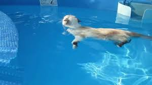 Siamese cat swimming in pool