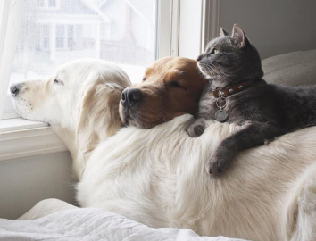 2 golden retrievers and their feline buddy