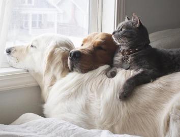 2 golden retrievers and their feline buddy