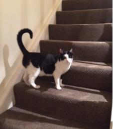 black and white tuxedo cat named whiskey