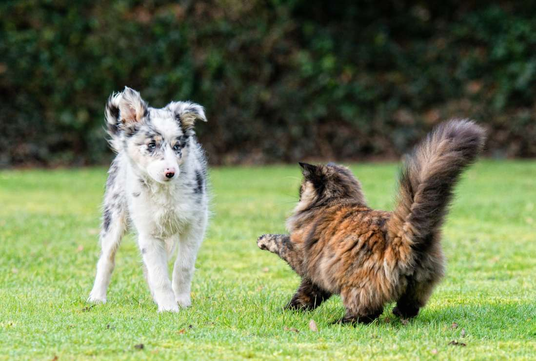 brown cat with fuzzy tail ready to fight with dog