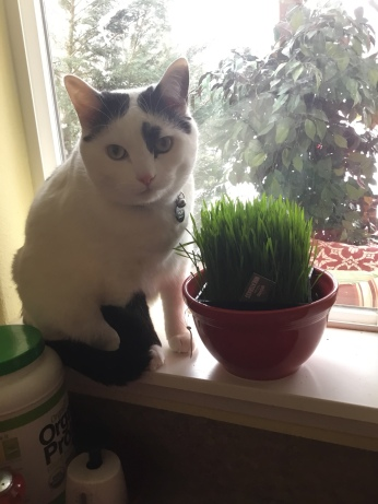 black and white cat eating wheat grass