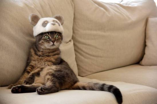 gray tabby in a panda hat
