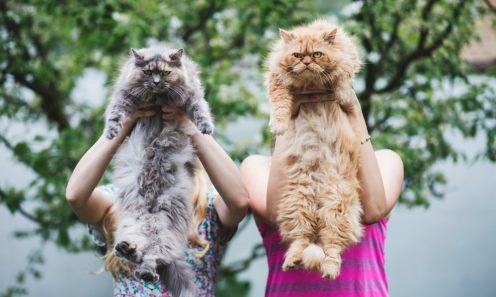 gray and yellow Maine Coon cats