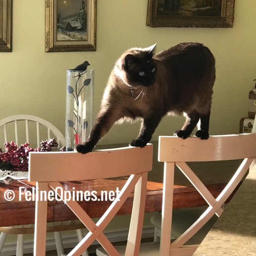 Siamese cat walking on top of dining room chairs