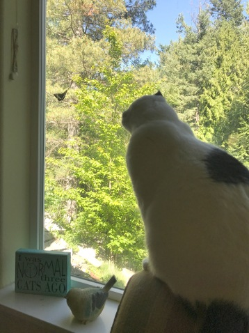 black and white cat looking at butterfly