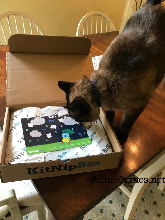 Siamnese cat inspects KitNip Box