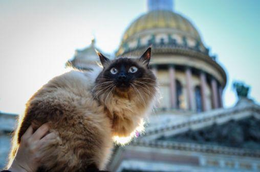 Siamese cat in St. Petersburg Russia