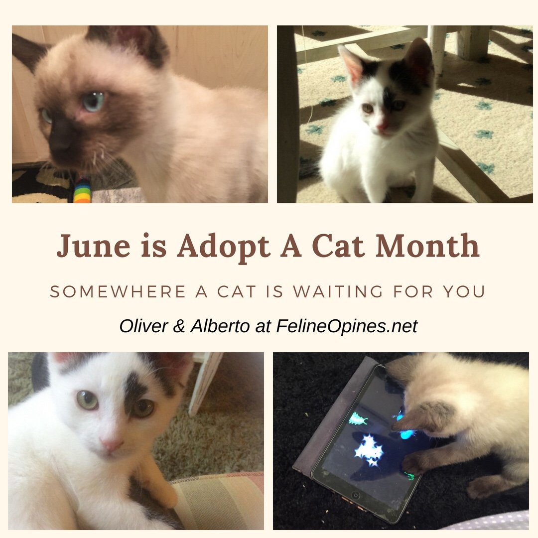 June is adopt a cat month, black and white and siamese kitteen