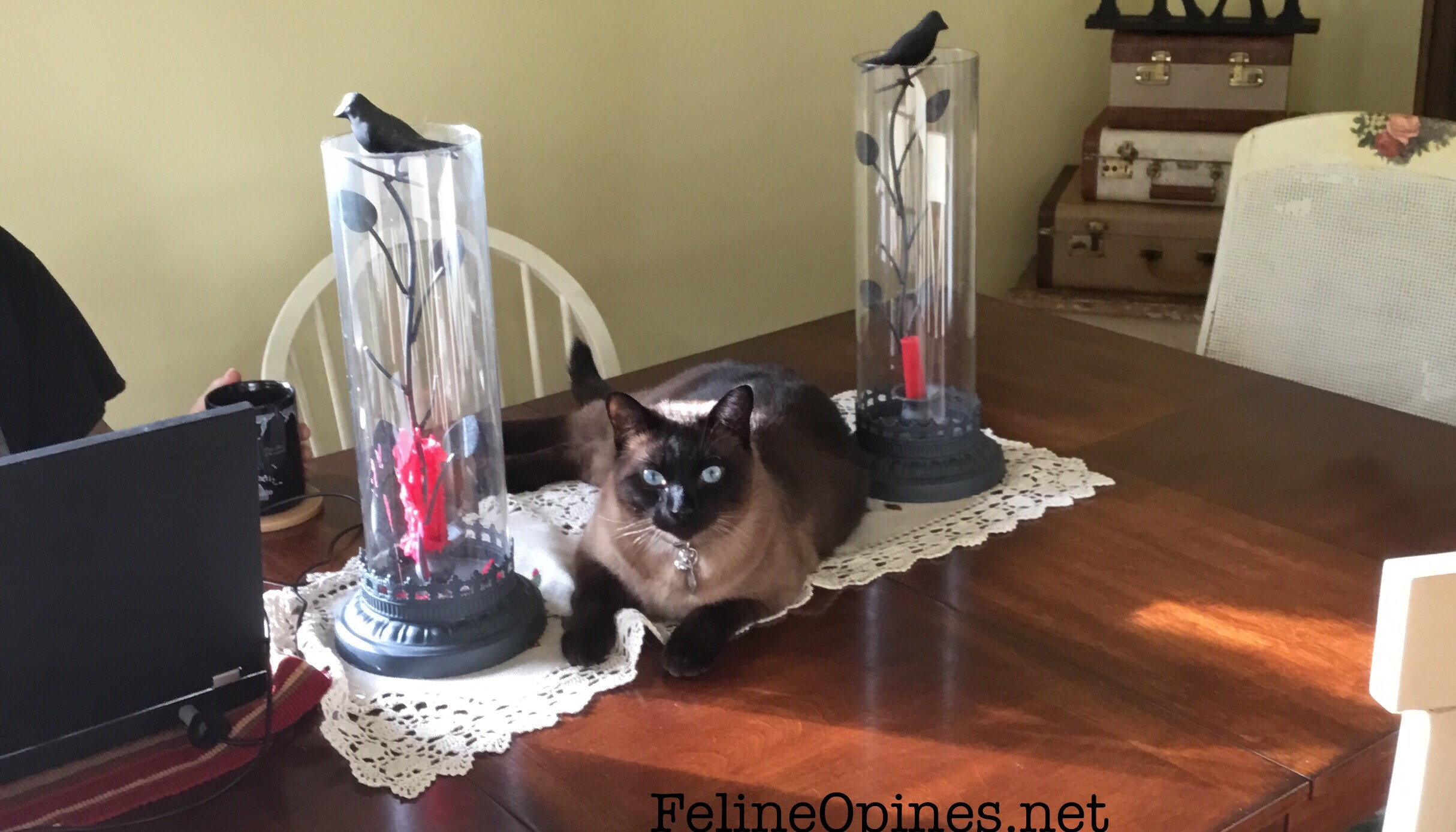 Siamese cat on the dining room table