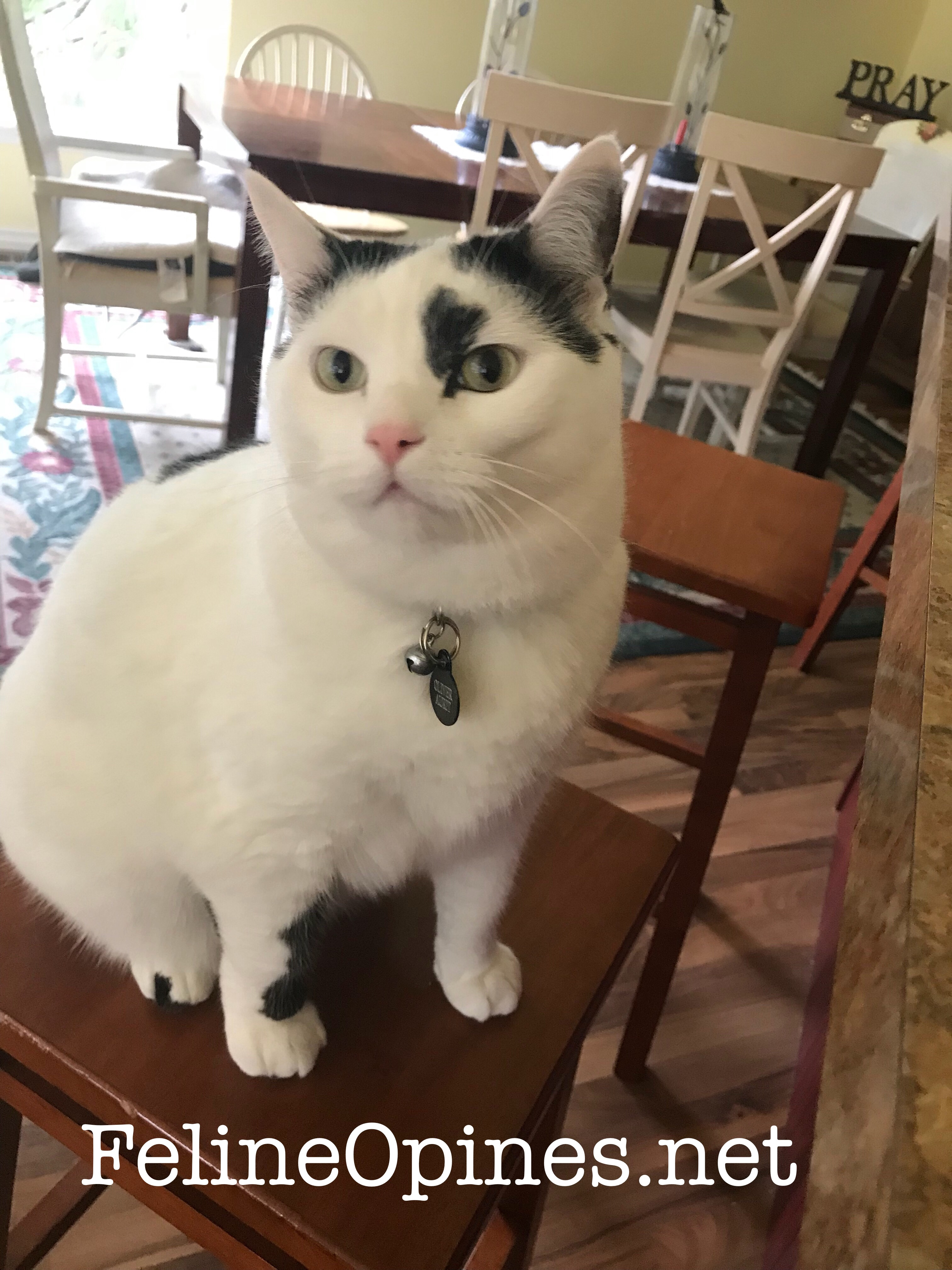 Black and white cat sits on stool waiting for dinner