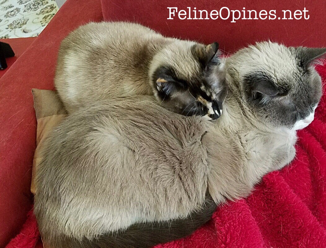 siamese cats cuddling together