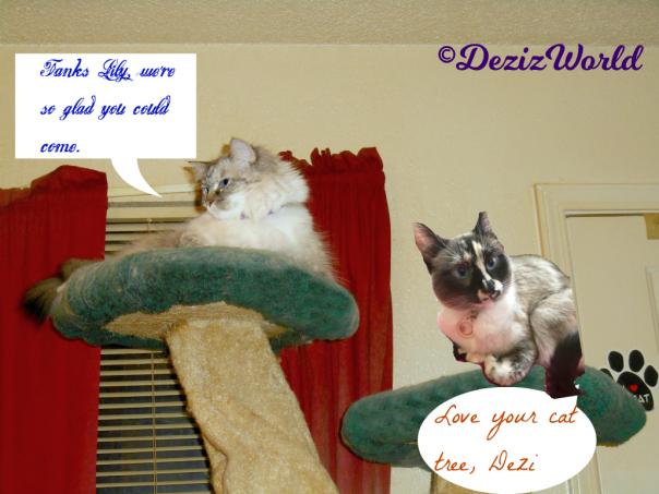 dw-dezi-n-lily-lays-atop-cat-tree-1566