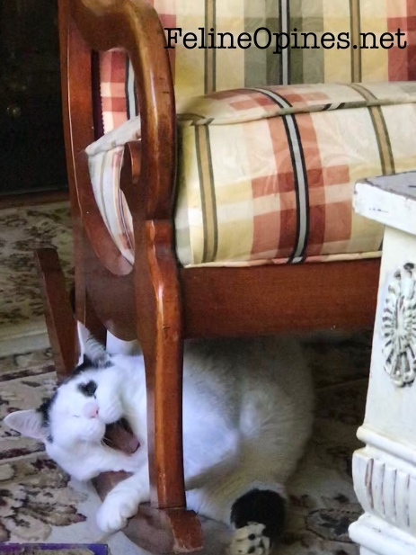 black and white cat yawning under a rocking chair