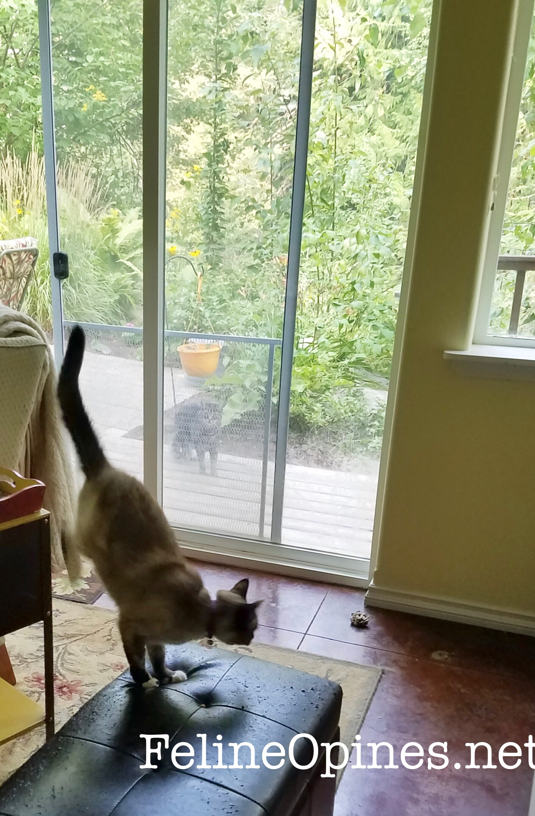 Siamese cat sees Tabby cat