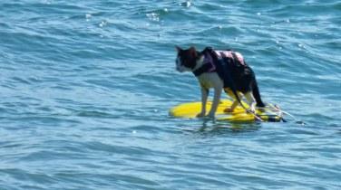 cat on boogie board in the ocean