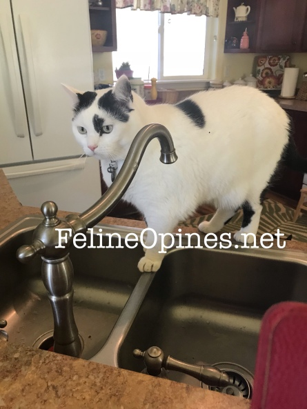 black and white cat in a kitchen sink