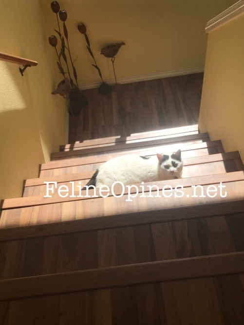 black and white ct sunning on the stairs