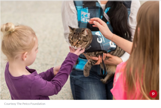 Tabby therapy cat at Denver airport